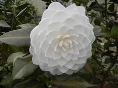 A beautiful japonica 'Lois Coker' Beautiful Flowers, Camellia, Japonica, Plants, White Flowers, Planting Flowers, Shrubs, Flowers, Flower Garden
