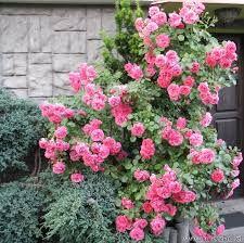 Znalezione obrazy dla zapytania róże angielskie pnące