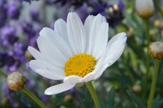 A daisy in my garden with lavender in the background.