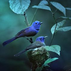 if happy little blue birds fly... I see these  blue birds every time I take a walk.