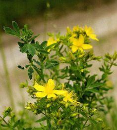 """Echtes Johanniskraut ist die """"Arzneipflanze des Jahres"""" - Gegen depressive Verstimmungen wirkt Johanniskraut – das belegen Studien. Jetzt wurde die Heilpflanze """"ausgezeichnet"""". Mehr dazu hier: http://www.nachrichten.at/nachrichten/gesundheit/Echtes-Johanniskraut-ist-die-Arzneipflanze-des-Jahres;art114,1589110 (Bild: OÖN)"""