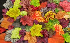 Plant to replace hostas - Heucheras