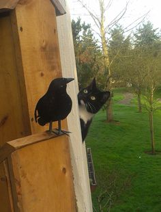 Neighbor's cat, curious about our fake raven