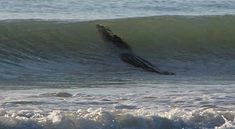 In news that could make you never want to swim in a beach ever again: a 13 foot crocodile was spotted at Broome's Cable Beach, in Western Australia over the weekend. Description from trinikid.com. I searched for this on bing.com/images