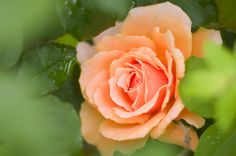 Peach rose at Texas Forest Country Retreat B