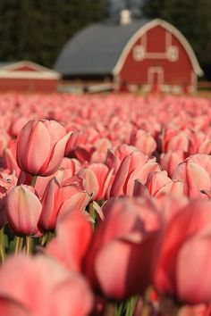 Skagit Valley Tulip Festival | Flickr - Photo Sharing!