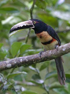 Collared Aracari, Sarapiqui, Costa Rica, by © Alex Vargas, via birdingblogs.com