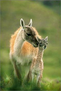 guanaco & baby, cousin of the llama and alpaca. Andes.