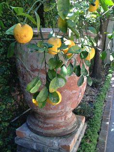 lemon tree...New Orleans courtyard