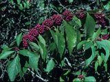 Callicarpa americana (American beautyberry)   NPIN