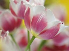 Beautiful Blooming Flowers Pictures And White Tulips, Pink Tulips, Tulips Flowers, Blooming Flowers, All Flowers, Yellow Flowers, Beautiful Flowers, Simply Beautiful, Pink White