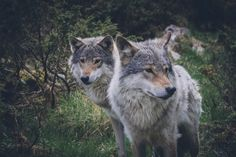 GreenMe Brasil Wyoming, Husky, Endangered Species, Gray Wolf, Animals, Brazil, Great Lakes, Wolves, United States