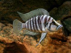 Tropical Freshwater Fish, Freshwater Aquarium Fish, Malawi Cichlids, African Cichlids, Tropical Aquarium, Tropical Fish, Aquascaping, South American Cichlids, Cichlid Fish