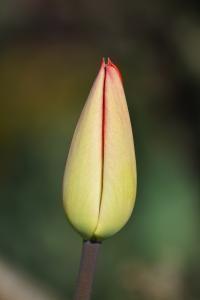 scharfe Tulpe geschlossen