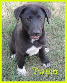 Twain - Clay County Animal Shelter in Henrietta, Texas - ADOPT OR FOSTER - Male PUPPY Lab/Great Pyrenees Mix - RESCUING ONE MAKES ROOM FOR ANOTHER!