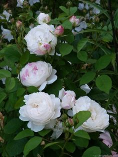 Winchester cathedral - thornless DA, does well in our climate, I think it can be trained as a climber. Amazing Flowers, Beautiful Roses, White Roses, Pink Roses, Winchester Cathedral Rose, Nothing But Flowers, Black And White Landscape, David Austin Roses, Rose Photos