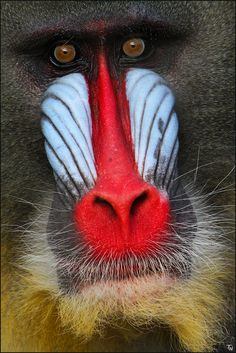 Mandrill by Thorsten. Nolting