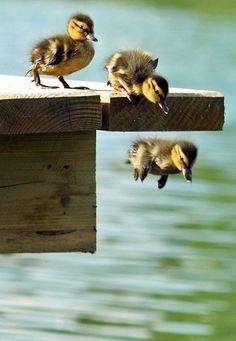 brave little ducklings