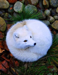 I need outline about the artic fox help please?