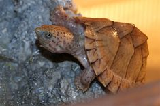 The Razorback Musk Turtle is the biggest type of Musk Turtle.