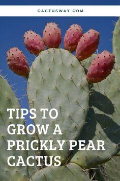 Indoor Succulents, Succulent Planter Diy, Succulent Care, Cacti And Succulents, Cactus Plants, Opuntia Cactus, Prickly Pear Cactus, Mini Cactus Garden, Cactus Care