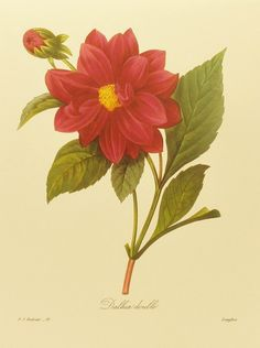 Vintage Red Dahlia Botanical Flower Print Illustration by Redoute