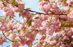 Pink Blossoms, nature