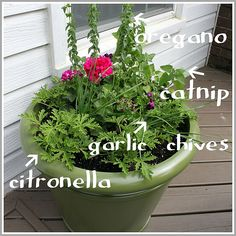 Mosquito Planter- also creeping thyme plant. It has citronella oil that makes it smell lemony. Put it in planters on the patio Herb Garden, Lawn And Garden, Garden Plants, Patio Plants, Potted Plants, Mosquito Repelling Plants, Natural Mosquito Repellant, Container Gardening, Gardening Tips