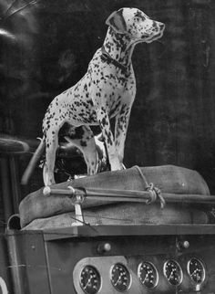 King, a firehouse Dalmatian, stands on fire engine in this picture from Sept. 1, 1949.