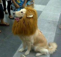 El disfraz perfecto de este carnaval: perro o león? www.petclic.es