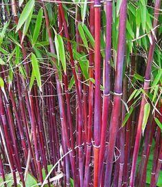 Roter Bambus 'Asian Wonder'