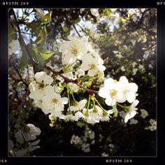 #cerisiersenfleurs #Cévennes