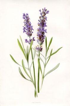 50 Favorite Free Vintage Flower Images - The Graphics Fairy. Love this Lavender Botanical Printable! So nice to use in craft or DIY decorating projects!