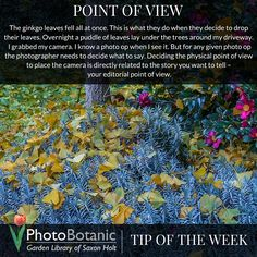 It's the PhotoBotanic Tip of the Week: Point of View | Full post at http://photobotanic.com/ginkgo-point-of-view #photography #photographytips