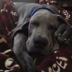 Great Dane puppy 4 weeks old! How fricken cute! Great Dane Mastiff Mix, Great Dane Puppy, Puppy Love, Dane Puppies, Doggies, Great Dane Rescue, Lap Dogs, Gentle Giant, Puppys