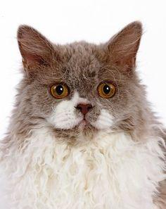 Outstanding Selkirk Rex #cats