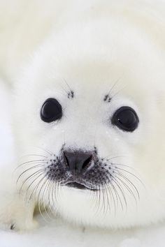 Baby white fluffy seal - i love this precious face Nature Animals, Animals For Kids, Cute Baby Animals, Animals And Pets, Funny Animals, Seal Pup, Baby Seal, Beautiful Creatures, Animals Beautiful