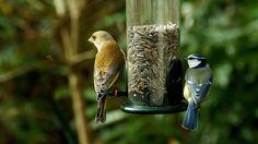 Samstags gibt`s Kerne.  ... . Obwohl, die gibt es ja jeden Tag. Singvögel sind wie Hunde oder Katzen. Die können auch jeden Sag das selbe fressen. :-)