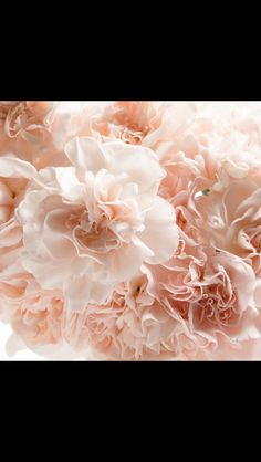 Blush Pink carnation for wedding bouquet