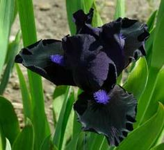 SDB iris Black Lightening