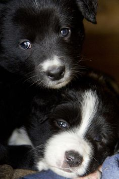 Four week old border collie pups. #Collie #Puppy