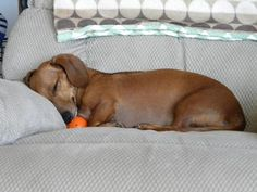 Looks just like our baby :) Sleeper - Dachshund.