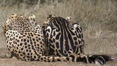 The difference between a normal spotted cheetah (left) and a rare king cheetah (right) is a mutation in a single gene.