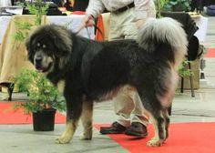 Tibetan Mastiff: Man, I love huge dogs Huge Dogs, I Love Dogs, Tibetan Mastiff, Horses And Dogs, Large Dog Breeds, Dogs Of The World, Fur Babies, Dog Lovers, Dog Cat
