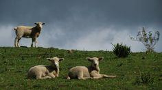 Ovelhas - Coxilha Rica - SC - Foto Lara Janning