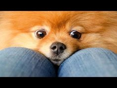 10 Funniest Pomeranian Videos - YouTube