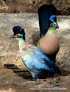 "purple-crested turacos - ""The Purple-crested Turaco (Tauraco porphyreolophus) is a species of bird in the Musophagidae family. It is found in Burundi, Kenya, Malawi, Mozambique, Rwanda, South Africa, Swaziland, Tanzania, Uganda, Zambia, and Zimbabwe."""