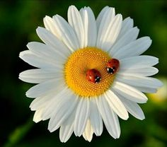 Ladybugs having a conversation on a Daisy Happy Flowers, Beautiful Flowers, Sunflowers And Daisies, Daisy Love, Belle Photo, Flower Power, Scenery, Photos, Pictures