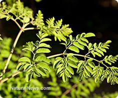 The moringa is a miracle tree that is being promoted as a solution to Third World malnutrition