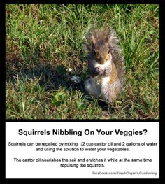 Repel squirrels with castor oil. Also works with voles, moles and gophers.